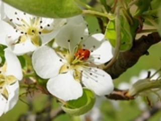 Coccinelle sur une fleur.